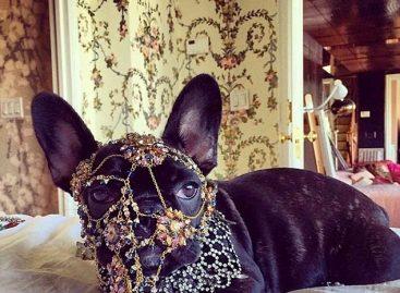 Леди Гага замучила свою собачку