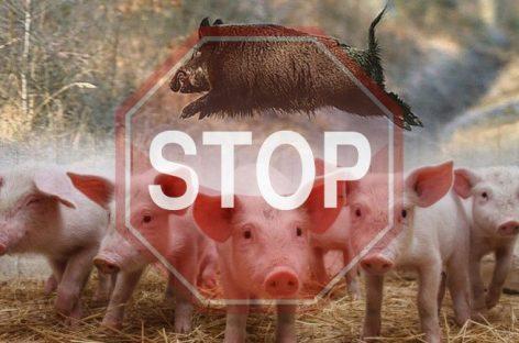 Африканская чума свиней в Бурятии
