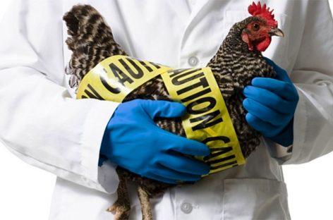 Зафиксирован первый случай передачи штамма птичьего гриппа человеку